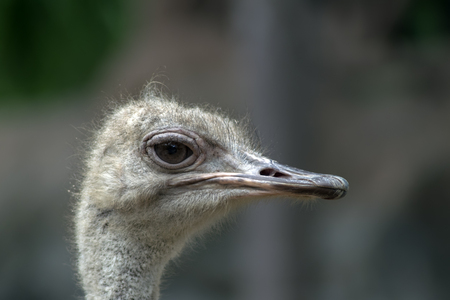 struthio camelus: Ostrich Head. Struthio Camelus is either one or two species of large flightless birds native to Africa.