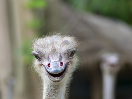 ratite: Struthio Camelus is either one or two species of large flightless birds native to Africa. Common Ostrich Heads Stock Photo