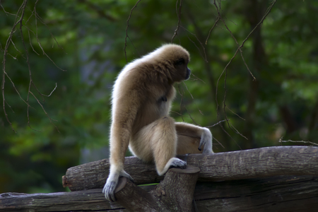 primate: Lar gibbon (Hylobates lar), also known as the white-handed gibbon, is a primate in the gibbon family, Hylobatidae.