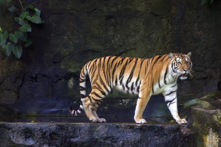 panthera tigris: Tigre siberiano (Panthera tigris altaica), tambi�n conocido como el tigre de Amur, es la subespecie m�s grande del tigre