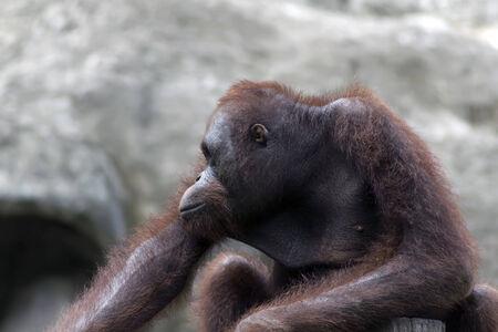 extant: Bornean orangutan (Pongo pygmaeus). Orangutans are the two exclusively Asian species of extant great apes Stock Photo