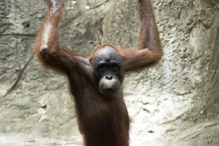 extant: Orangut�n (Pongo pygmaeus) Mujer de Borneo. Los orangutanes son las dos especies exclusivamente asi�ticas de grandes simios existentes