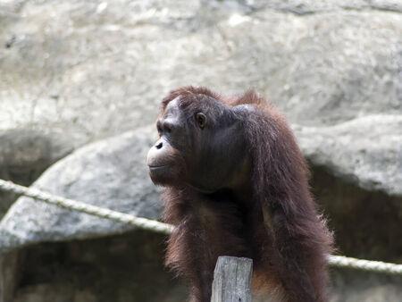 extant: Orangut�n de Borneo, Pongo pygmaeus femenina. Los orangutanes son las dos especies exclusivamente asi�ticas de grandes simios existentes Foto de archivo