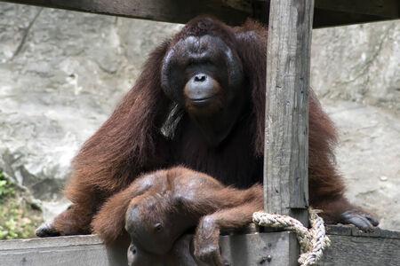 extant: Reproducci�n del orangut�n de Borneo (Pongo pygmaeus). Los orangutanes son las dos especies exclusivamente asi�ticas de grandes simios existentes Foto de archivo