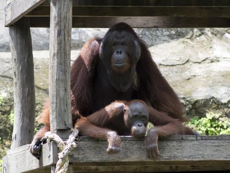 coitus: Coitus of Bornean orangutan (Pongo pygmaeus). Orangutans are the two exclusively Asian species of extant great apes