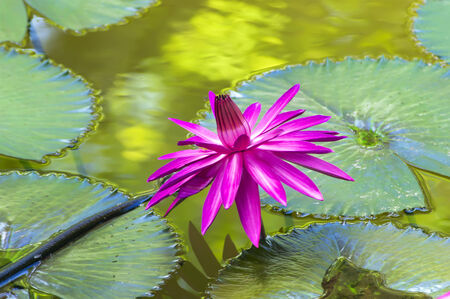 nymphaea: Nymphaea Lotus on Leaves in Chonburi Province of Thailand.