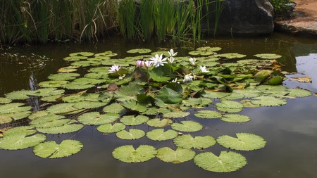 nymphaea: White and Pink Flowers of Nymphaea Lotus in Chonburi Province of Thailand.