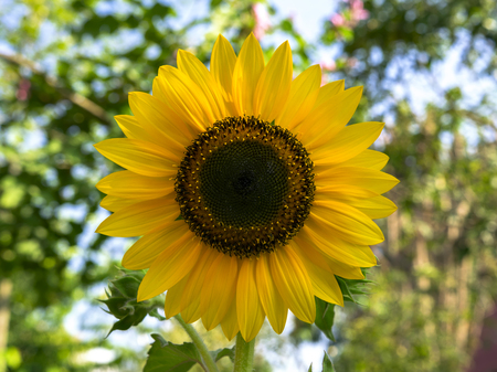 comprising: Helianthus Annuus Flower. Sunflowers is genus of plants comprising about 70 species in family Asteraceae Stock Photo