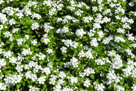 plants species: Background of Phlox. 67 species of perennial and annual plants in family Polemoniaceae