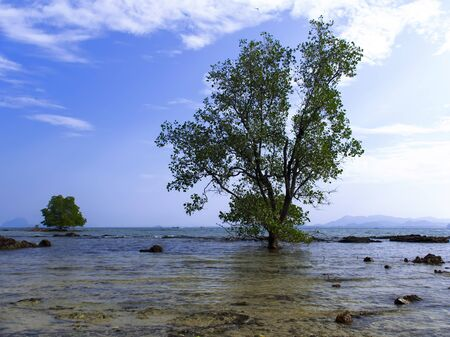 Mangrove Tree in Koh Mook Island Coast Line. 4x3 Stock Photo