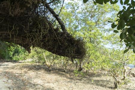 mook: Tree in Koh Mook Island Coast Line.