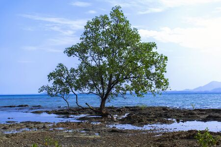Mangrove Tree in Koh Mook Island Coast Line.