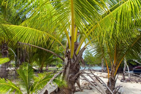 Palm Tree in Koh Mook Island Coast Line. Stock Photo