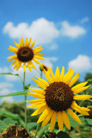 2 sunflowers in full bloom photo