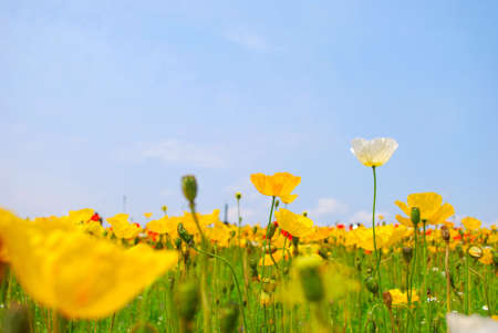 Field of poppies symbolizing happiness Stock Photo - 4850671