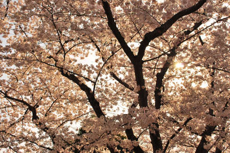 Cherry blossom trees in sunset photo