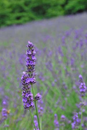 lavendar: Lavendar field with lavendars in full bloom