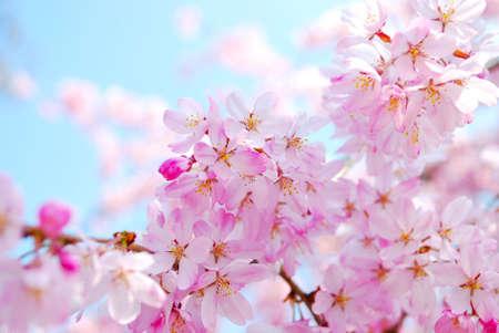 東京井の頭公園の桜