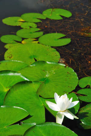 White lotus flower surrounded with lotus leaves photo