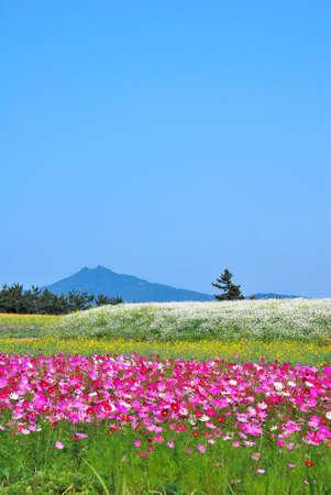 towering: Enorme campo de flores con el volc�n que domina en el fondo Foto de archivo