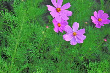 season specific: Pink cosmos flowers with green grass background Stock Photo