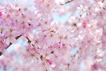 Cherry blossom trees taken against the blue sky. A symbol of spring, happiness, joy, as well as the Japanese culture. Stock Photo