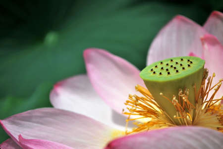 Closeup of lotus flower during the summer season. The lotus flower is an important symbol of Buddhism, and due to the conditions where it grows, it is frequently used to represent pureness, religion, faith, and freedom from suffering. Stock Photo