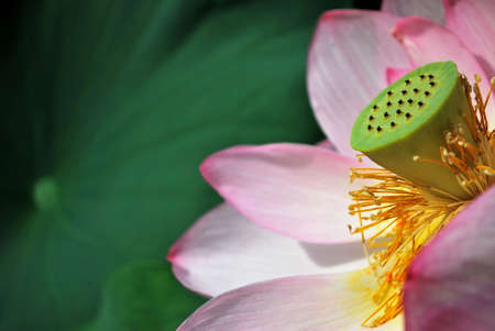Lotus flower in full bloom, symbolizing religion, buddhism, purity, serenity, zen, the summer season, buddha, enlightenment, bliss, joy and other abstract concepts. Taken in Japan. photo