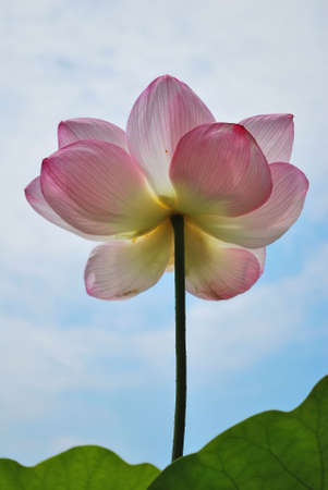 lotus temple: Low shot of lotus flower reaching for the sky, symbolizing religion, buddhism, purity, serenity, zen, the summer season, buddha, enlightenment, bliss, joy and other abstract concepts. Taken in Japan. Stock Photo