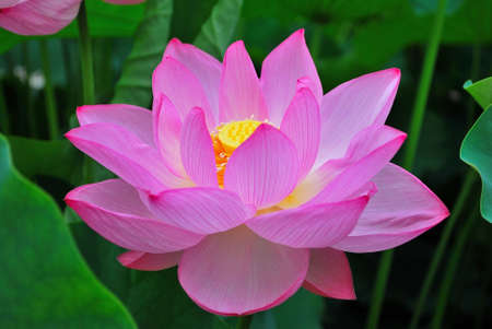 Lotus flower in full bloom during summer, symbolizing religion, buddhism, purity, serenity, zen, the summer season, buddha, enlightenment, bliss, joy and other abstract concepts. Taken in Japan. Stock Photo