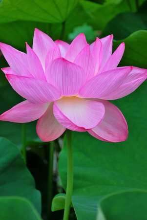 Perfect lotus flower in full bloom, symbolizing religion, buddhism, purity, serenity, zen, the summer season, buddha, enlightenment, bliss, joy and other abstract concepts. Taken in Japan. photo