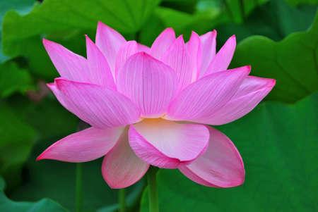 Lotus bloemen in volle bloei, symbool van religie, boeddhisme, zuiverheid, rust, zen, de zomer seizoen, Boeddha, verlichting, bliss, vreugde en andere abstracte concepten. Genomen in Japan.