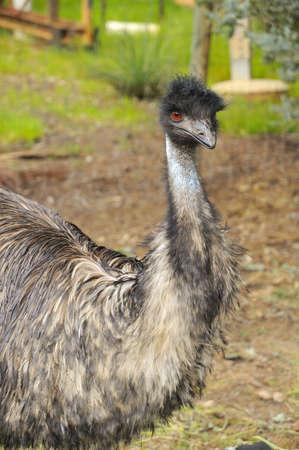 Big emu bird in the outskirts of Perth, Australia. photo