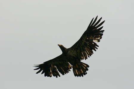 Juvenile bald eagle showing full wingspan in the sky. photo