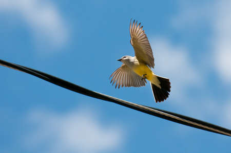 Grey crowned yellowthroat preparing to land on wire cable. photo