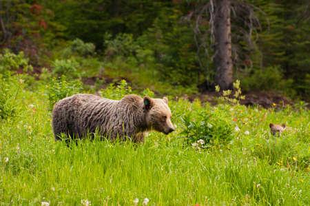 Female grizzly bear and cub feeding. photo