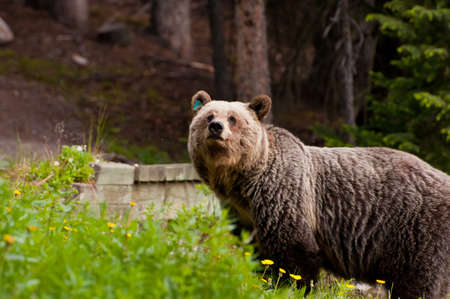 Closeup portrait shot of fierce grizzly bear. Stock Photo - 11493508