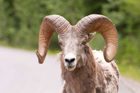 Portrait shot of bighorn sheep in Banff National Park. Stock Photo