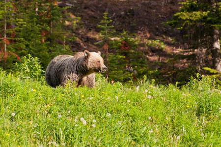 Grizzly bear, Banff National Park, Alberta photo