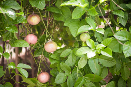 riped: Multiple riped passion fruit growing on tree.