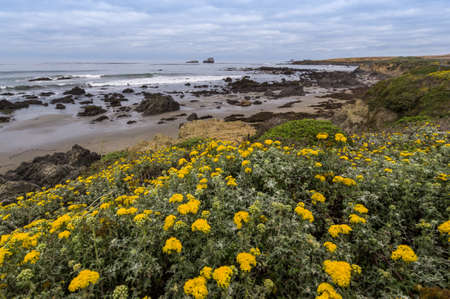 scenic drive: Beautiful yellow flowers blooming along Western coast of California, widely regarded as the most scenic drive in the USA.