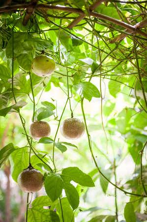 arboles frutales: fruta de la pasión orgánica en el árbol listo para la cosecha. Conceptos de salud y nutrición.