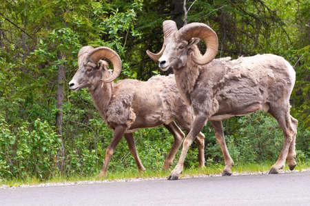 Bighorn sheeps walking along the road in Alberta.