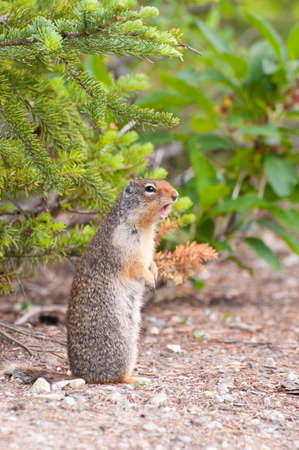 Chipmunk standing and making mating calls to other chipmunks. Stock Photo