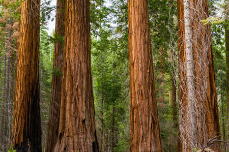 Close up view of gigantic sequoia redwood tree trunks.