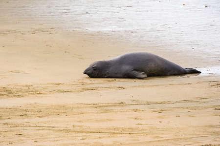 Gigantic adult seal resting on sea coast. Reklamní fotografie
