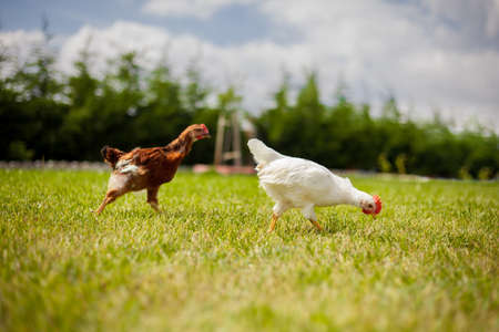fertility emblem: Chickens are Walking on Grass