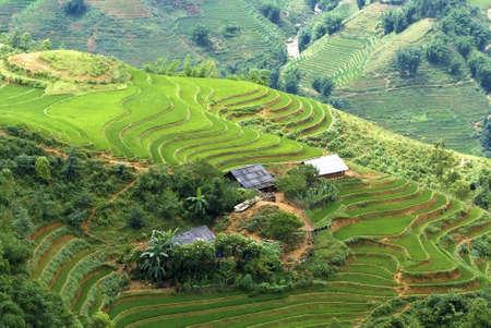 farming plant: Green Terraced Rice Field in Sapa, Vietnam