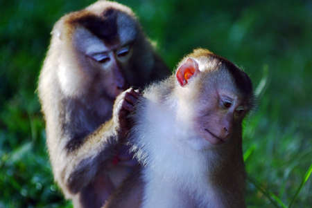 fleas: Monkeys help each other getting rid of fleas Stock Photo