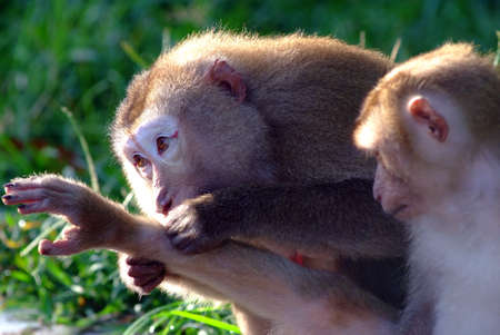 Monkeys help each other getting rid of fleas photo